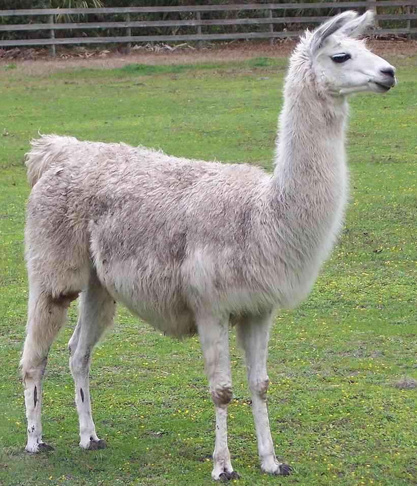 Image result for lama animal
